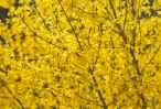 Bright yellow flowers covering this Forsythia bush in early spring..