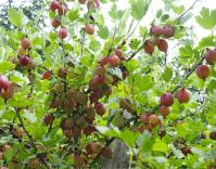 Berry Plants to grow in your yard