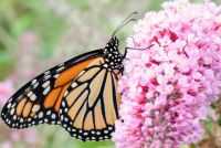 Long tiny clusters of pink flowers with orange and black monarch butterfly sitting on them