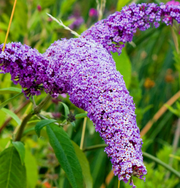 Light purple panicle flowers in an arching form with green leaves.