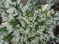 Types of Shrubs for your yard.