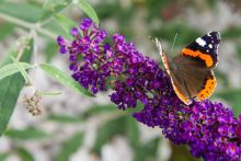 A brown and orange butterfly sitting atop a purple flower cluster of a butterfly bush.