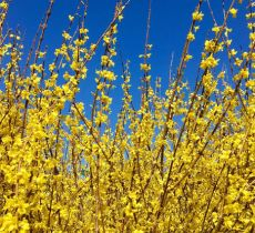 Tall branches of yellow flowers arching towards the sky