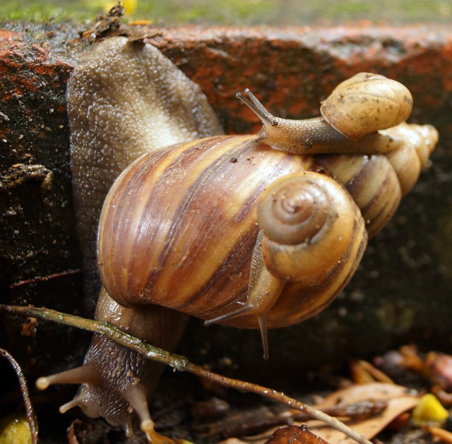 Garden snails carrying it's baby's on it's back.