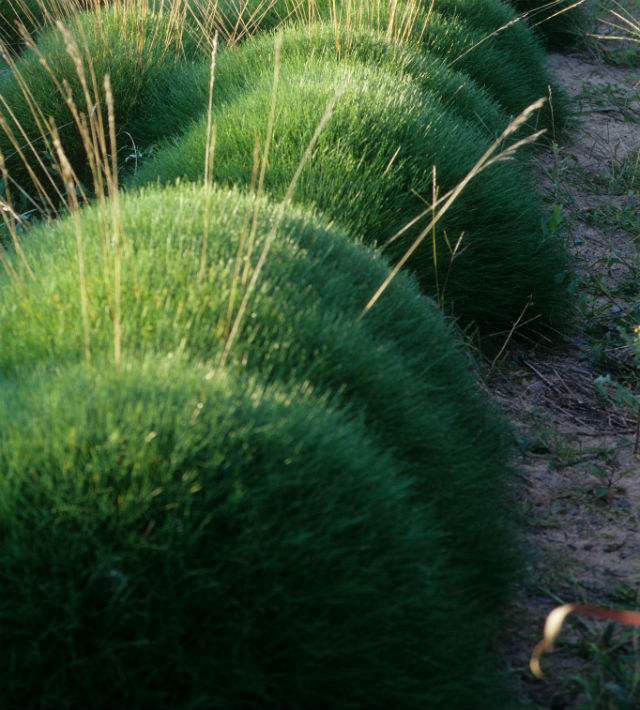 Tightly compact green round ball-shaped grass