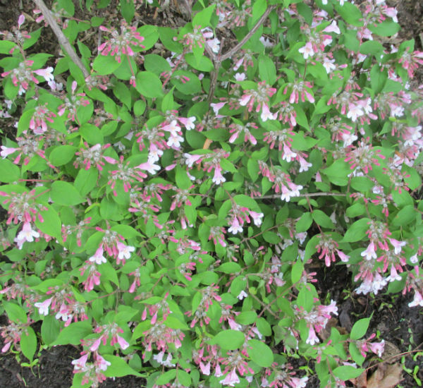 Beauty Bush full of small pinkish coloured flowers