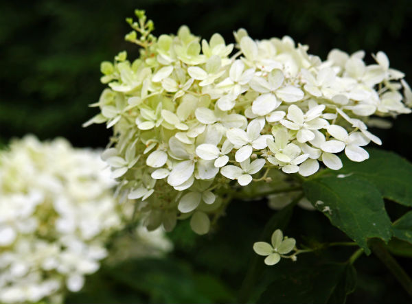 Brussels Lace Panicle Hydrangea with large cone-shaped blooms