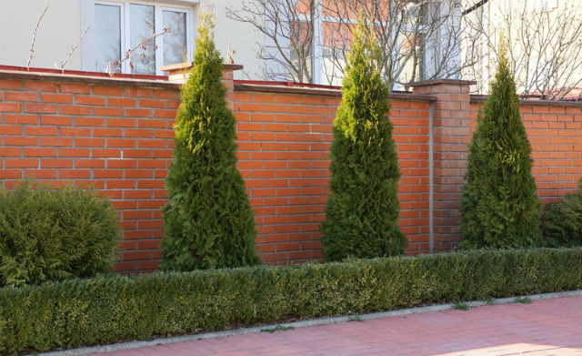 3 Coniferous Trees and 2 conifer shrubs on either side of them with a short hedge in front of them. A brown brick wall behind all the trees.