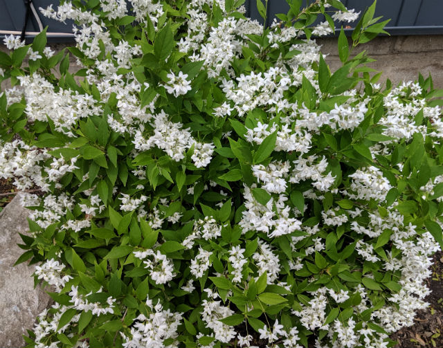 Masses of small white flowers covering this Deutzia plant