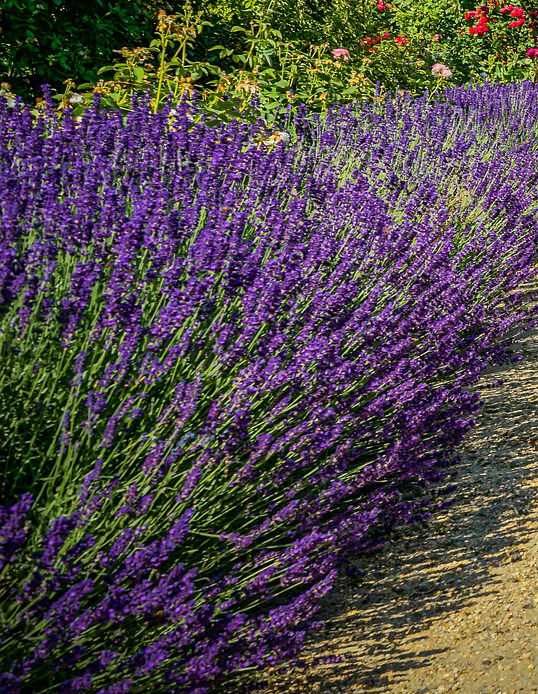 bright purple flowers on long stems in front of green foliage and a few red flowers in the background.