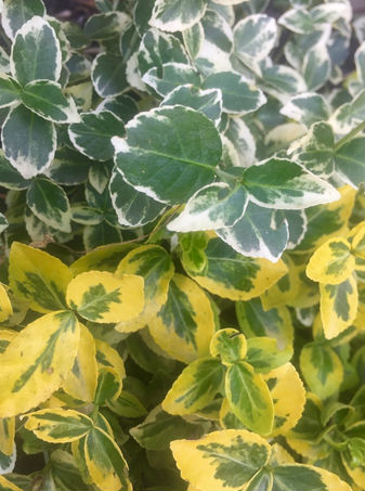 Euonymus shrub with green and yellow variegated leaves.