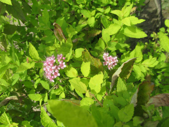 Small pink flower clusters on the tips of the green leaved branches.
