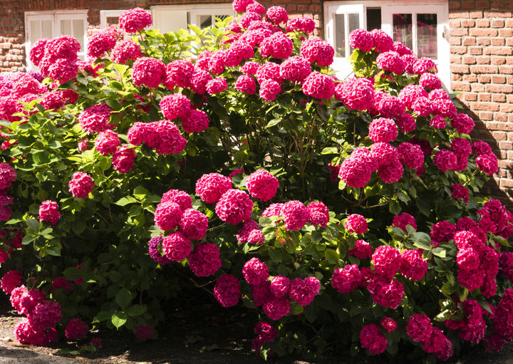 A Hydrangea Plant in full bloom with bright reddish pink flower clusters.