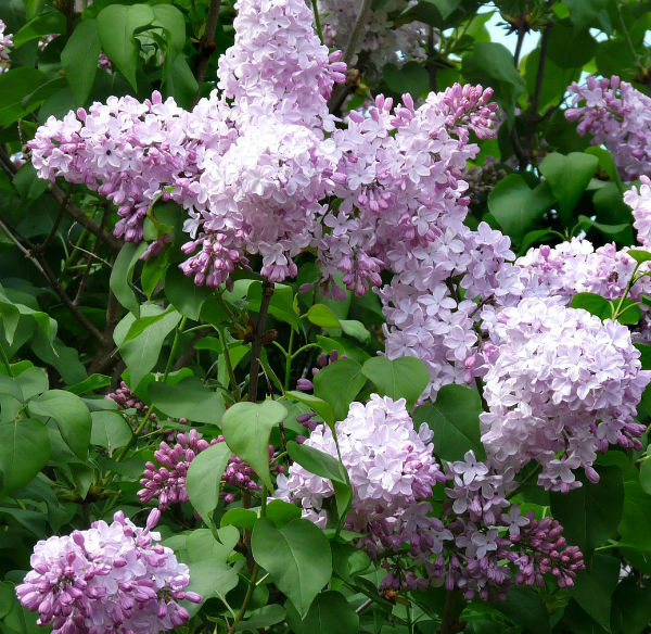 Lilac Bush loaded with pinkish purple flower clusters.