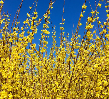 Lynwood Gold Forsythia