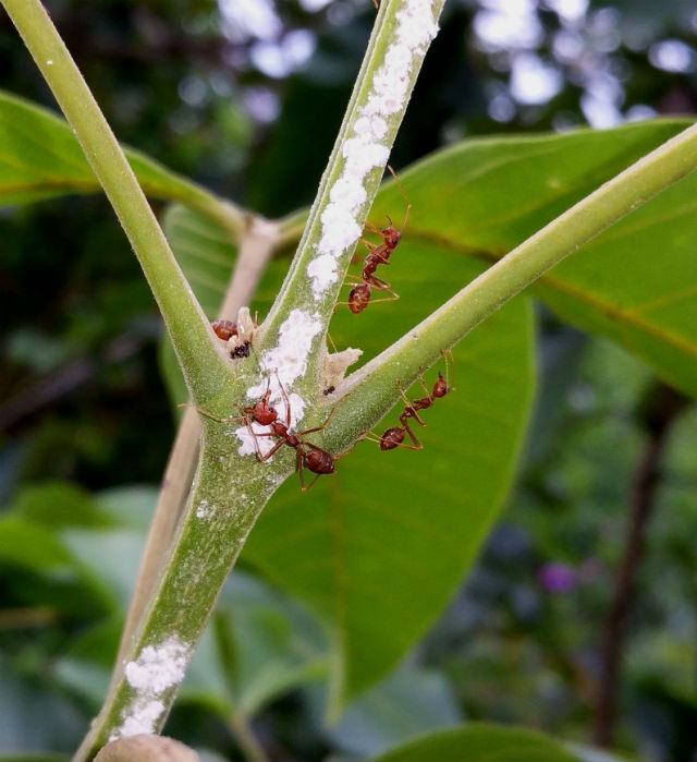 Mealybugs and the ants that protect them.