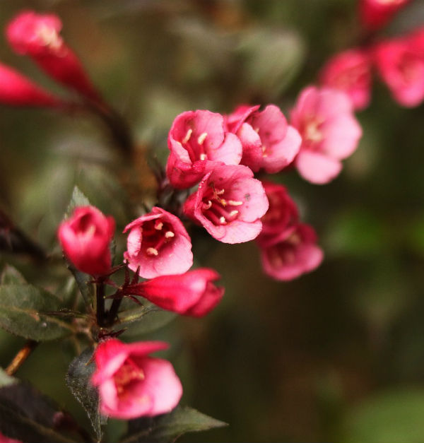 Minuet Weigela has stunning pinkish flowers