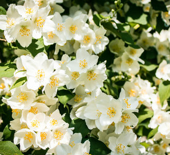 A group of stunning white flowers with yellow centers and green leaves in the background