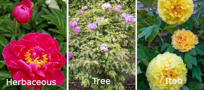 Herbaceous, tree, and Itoh peony types