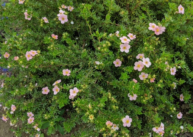 Potentilla shrub with beautiful peachy coloured flowers and reddish orange centers.