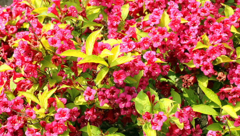 Brilliant reddish pink bell-shaped flowers cover the bright yellowish gold leaves