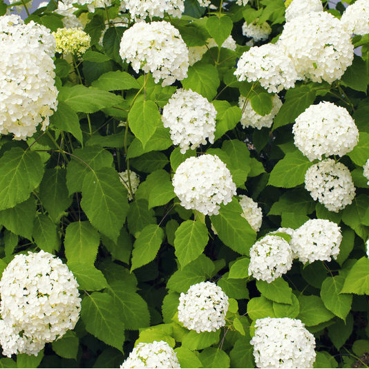 Annabelle Hydrangea with big white snowball flowers