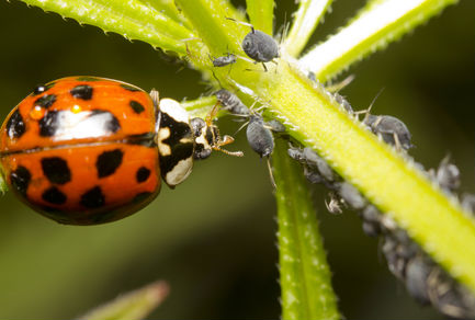 Ladybugs are Aphid killers