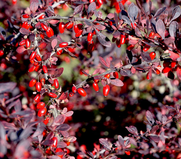 Red Barberry Shrub with small red berries