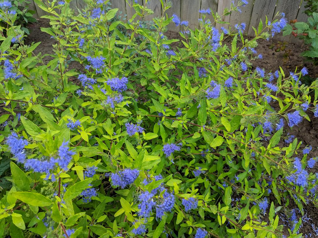 Blue Mist Spirea attracts many pollinators