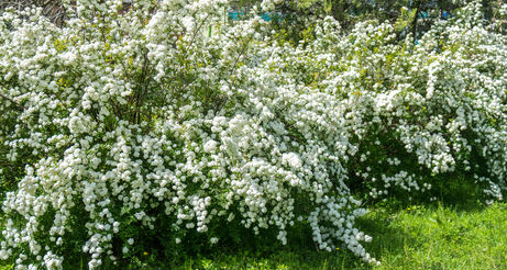 Bridal Wreath Spirea with long stems of white flower clusters