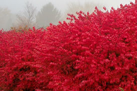 A Burning bush with bright red leaves in autumn.