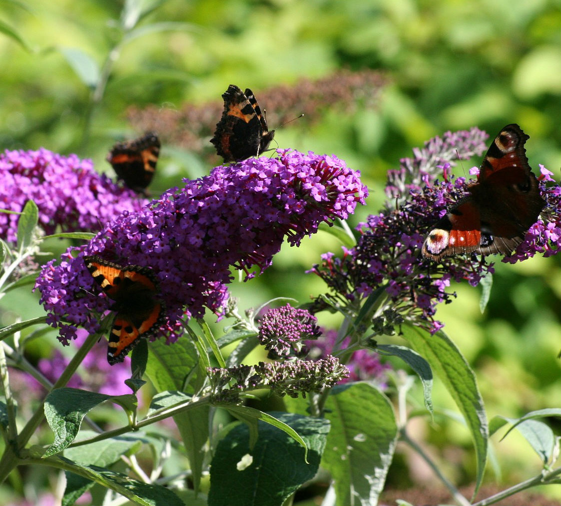 Purple coloured flowers with lots of butterflies collecting nectar from the flowers of this butterfly bush.