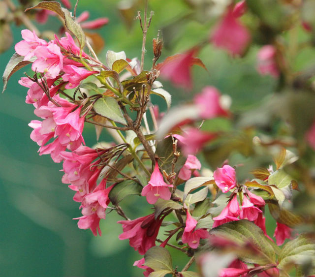 Light pink bell-shaped flowers on the stems of a branch with olive green leaves