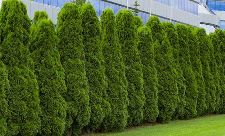 A row of green cedar trees to form a hedge along the yard and to block out the building in the background.