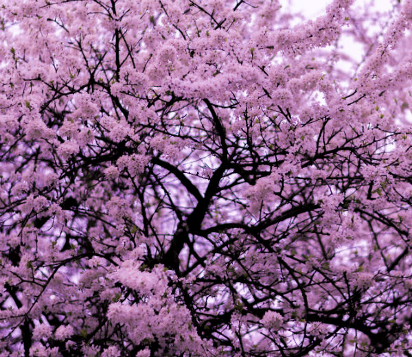Fuji cherry tree in full bloom loaded with pink blossoms.