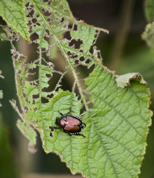 Japanese beetle eating leaf is a common garden pests