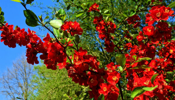 Bright red flowers on the branch of a Quince bush