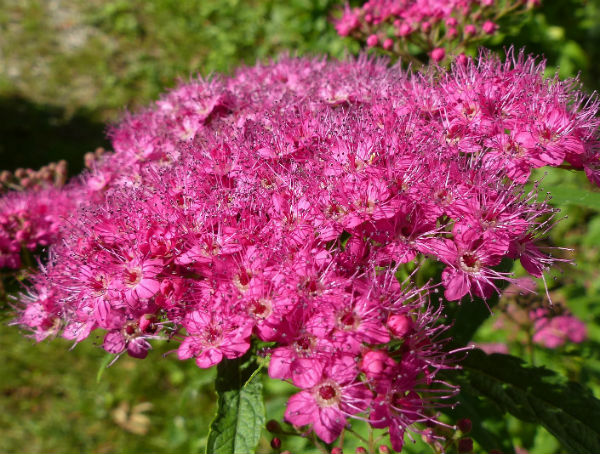 Large cluster of small bright pink flowers