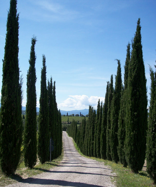 2 rows of green cypress trees lining a dirt road with green field and blue sky in the background.