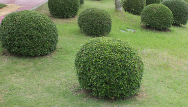 Several round green yew shrubs spaced out in a yard.