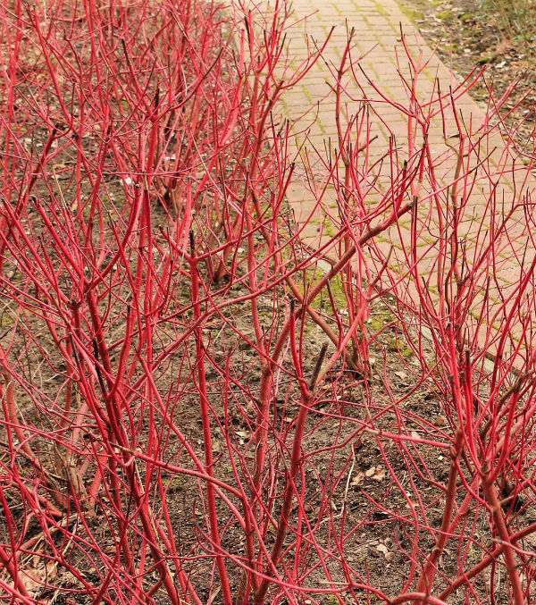 Dogwood Bush stems of bright red for winter interest.