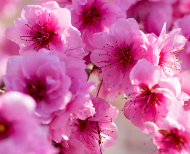 A bunch of double pink blossoms