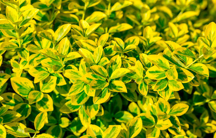 Golden yellow leaves with dark green centers cover this emerald n gold sgrub