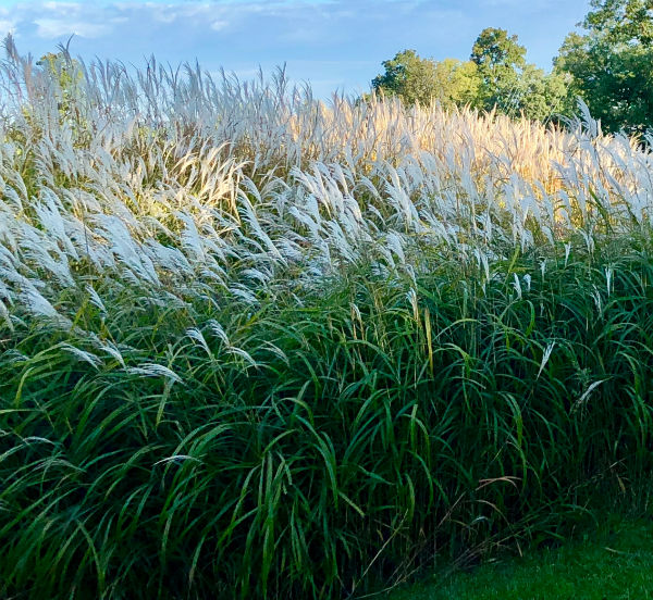 tall green ornamental grass with large white plumes