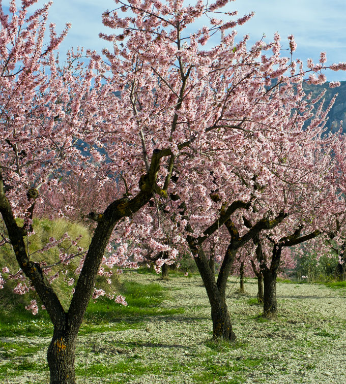 An orchard of pink flowering almond trees