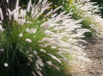 green ornamental grass with white plumes