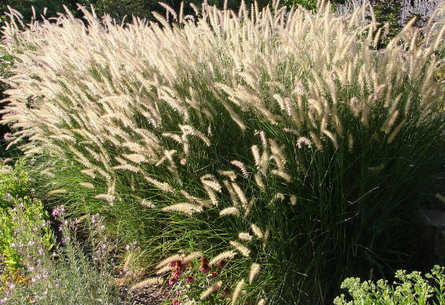Tall wisps of grass with white plumes