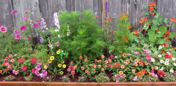 perennial garden full of bright coloured flowers with 2 conifers in the middle up against a gray fence.