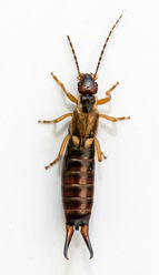 Get rid of earwigs in your garden naturally.