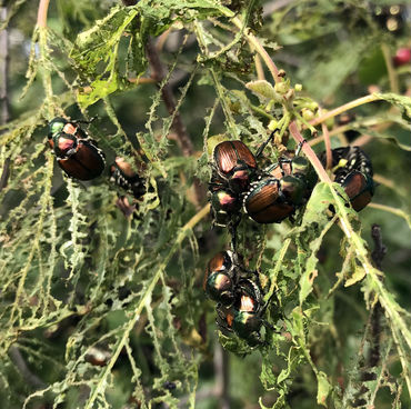 Japanese Beetles devouring the flesh of leaves so that just the veins are left.